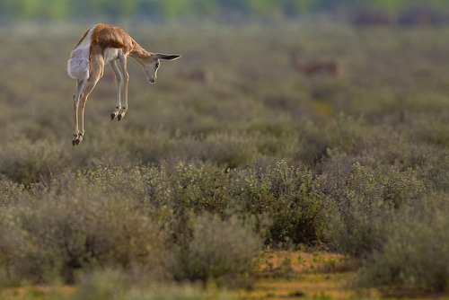 animals-animals-animals:  Springbok Pronk (by yathin)