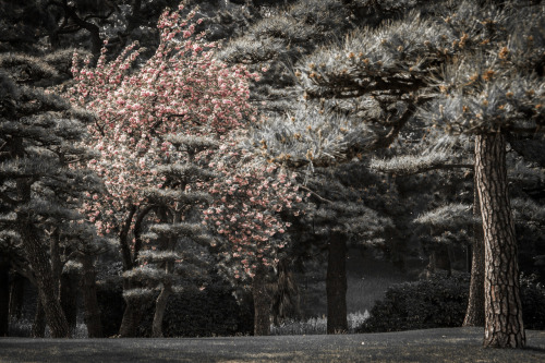 lensblr-network:  A Cherry blossom tree in Tokyo, Japan. We were lucky enough to catch the very end of the season when we were there! by chrisquiroz.tumblr.com