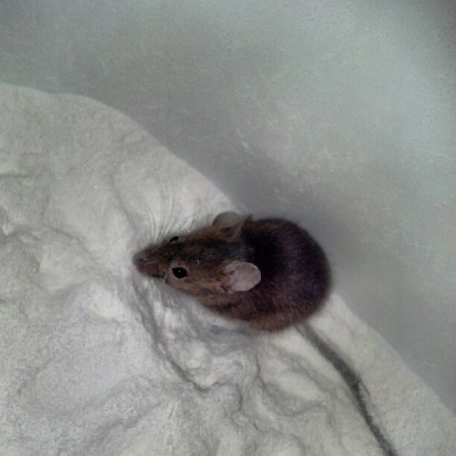 a moused tapped in a bucket, cant release it till after work. #mouse #found #work #bucket (Taken with Instagram)