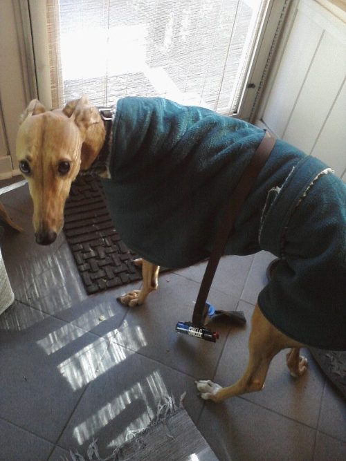 elizzabethmarie:  My puppy has a coat for days like today. :3