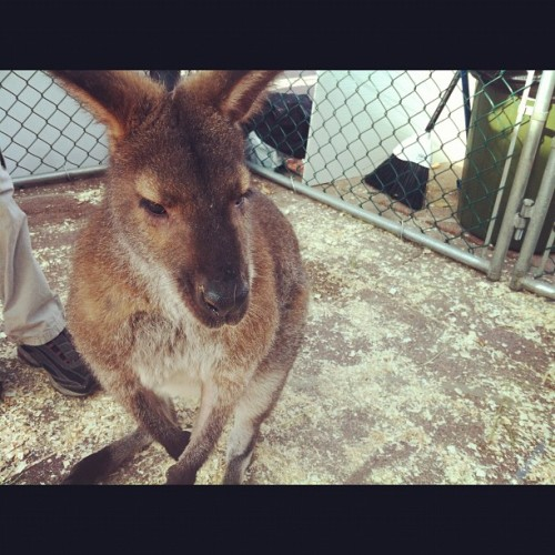 Wallaby  (Taken with Instagram at Sir Winston Churchill Square)