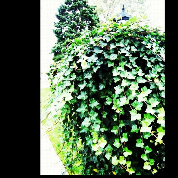 Overgrown #vines #vine #outdoors #plants #plant #green #myphotography  (Taken with Instagram)