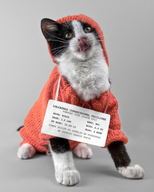 "thefluffingtonpost:  Notorious Catnip Dealer Convicted on 3 Counts After a five-year cathunt and four-month-long trial, the infamous criminal mastermind Ninja was convicted in superior court on two counts of selling illegal catnip and one count of money laundering. ""We're very pleased that this menace to society is finally behind bars,"" said the Jason Kemnitzer, the district attorney who prosecuted the case. Ninja has been sentenced to five years hard labor at Lolcatraz Correctional Facility, though his attorneys said in a statement that they plan to appeal. Submitted by Jenny Theolin, photo by James McKenzie-Blyth for LOLCAT - TEH EXHIBISHUN."