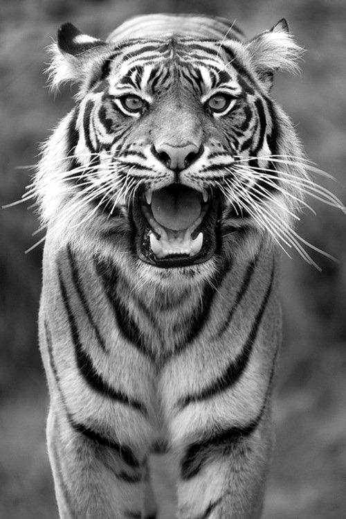 Tiger triangle tumblr