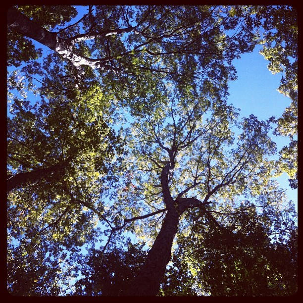 Forest canopy (Taken with Instagram at Mason Neck State Park)