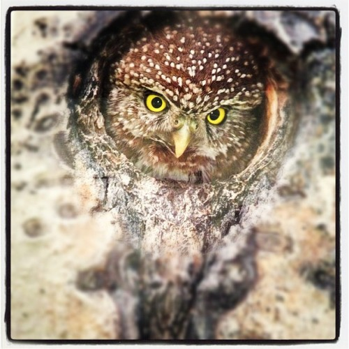 Pygmy Owl Queen — Listen for Owl tonight (Taken with Instagram) Paul Bannik, Photographer