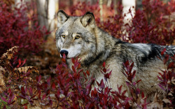 cascading-leaves:  Wolf by Arcrammer on Flickr.