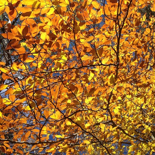 Leaves like stained glass. #nofilter (Taken with Instagram)