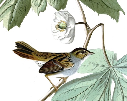 Detail of Plate 64 of The Birds of America by John Audubon, the Swamp Sparrow.