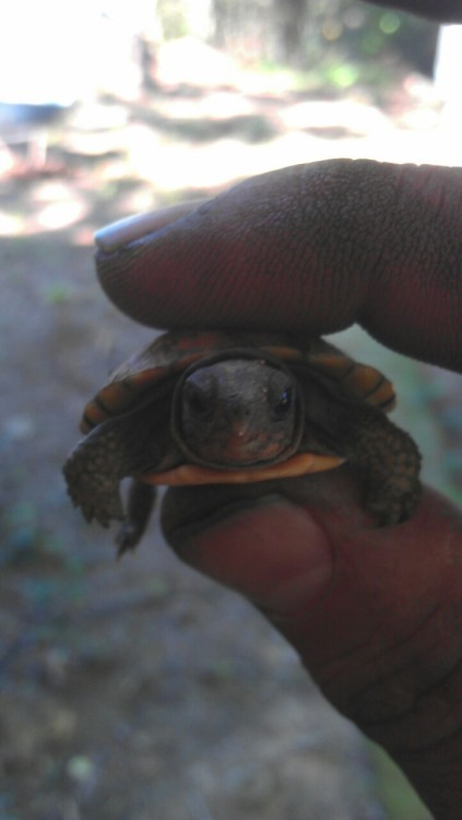 mainhoodnigga:  this turtle deserves more reblogs