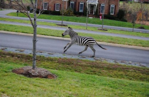 mafgaret:  me on my morning jog  It is quite literally a Zebra Crossing now