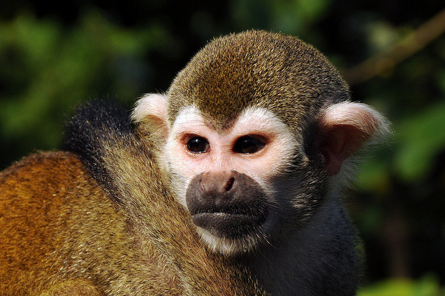 saimiri sciureus on Flickr.squirrel monkey