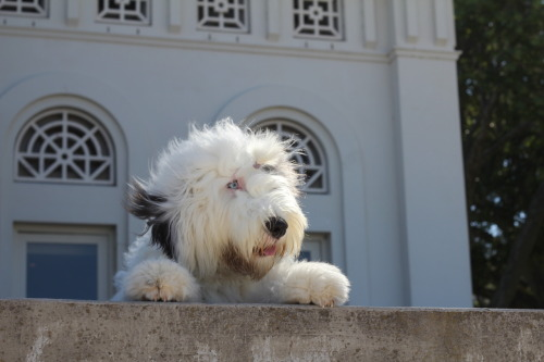 old english sheepdog with her hair blowing in the wind. Blue eye!