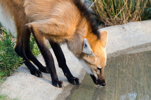 howtoskinatiger:  Maned Wolf by Morjas on Flickr.
