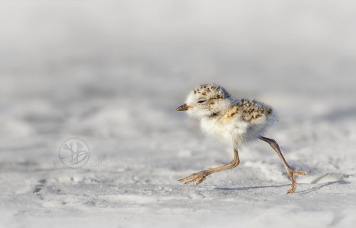 fat-birds:  Snowy Plover (Charadrius nivosus) chick by Kristian Bell on Flickr.