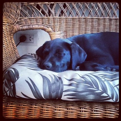 I miss her… #sofa #dog #cute #lovely #black #sleepyhead #puppy #sleepy #fotografía #photography #argentina. (Taken with Instagram)