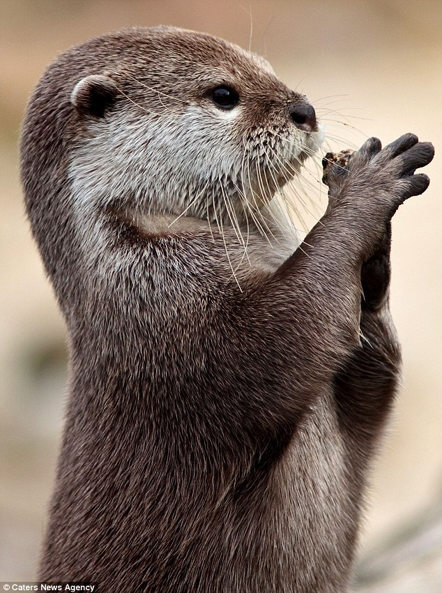 dailyotter:  Otter Has a Stone Via the Daily Mail