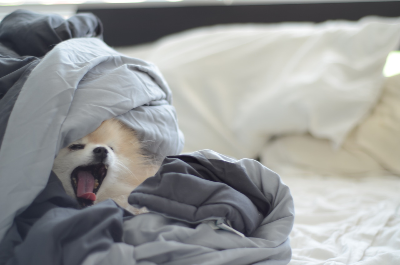 tommypom:  sunday morning yawns,