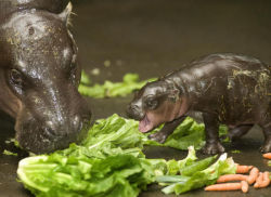 Closely related to pigs, these pygmy hippos resemble their nile cousins! Although smaller and cuter, they're equally aggressive and just as dangerous. Hexaprotodon liberiensis has wider spread digits and little webbing, making them much better suited for terrestrial living, although their strong muscular valves that close their ears and nostrils allow them to submerge into water as well! Living near swampy forests, creeks and streams in West Africa, they'll consume anything from roots and grasses to aquatic plants! Once digested, you don't want to be around them.. They'll spread their dung to mark paths by wagging their tails during defecation. Then again, with the few thousand hippos left in the world, you're lucky to see them at all! The IUCN marks them as vulnerable, except in Nigeria where they are critically endangered.