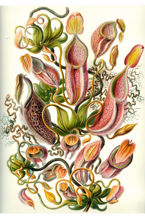 andrewjacksonjiujutsu:  ernst haeckel, german scientific illustrator