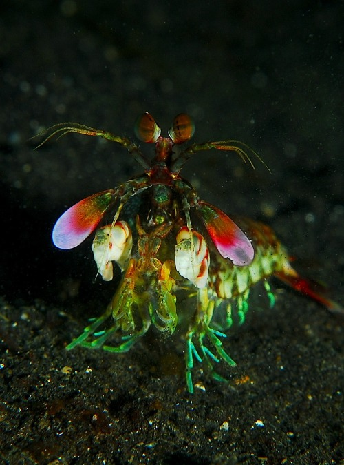 Eyes, Color & Mantis Shrimp  The midband region of the mantis shrimp's eye is made up of six rows of specialized ommatidia. Four rows carry 16 differing sorts of photoreceptor pigments, 12 for colour sensitivity, others for colour filtering. The mantis shrimp has such good eyes it can perceive both polarized light and hyperspectral colour vision. Their eyes (both mounted on mobile stalks and constantly moving about independently of each other) are similarly variably coloured and are considered to be the most complex eyes in the animal kingdom. They permit both serial and parallel analysis of visual stimuli.  Learn more about color on this fascinating episode of Radiolab: