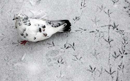 theanimalblog:   A pigeon leaves footprints on snow-covered ground near Krasnoyarsk, Siberia.  Photograph: Ilya Naymushin/REUTERS