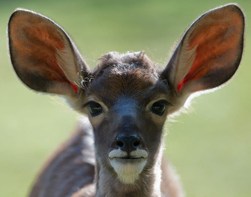 The wisest antelope I have ever seen theanimalblog:  A young kudu antelope in a zoo in Berlin.  Photograph: Tim Brakemeier/EPA