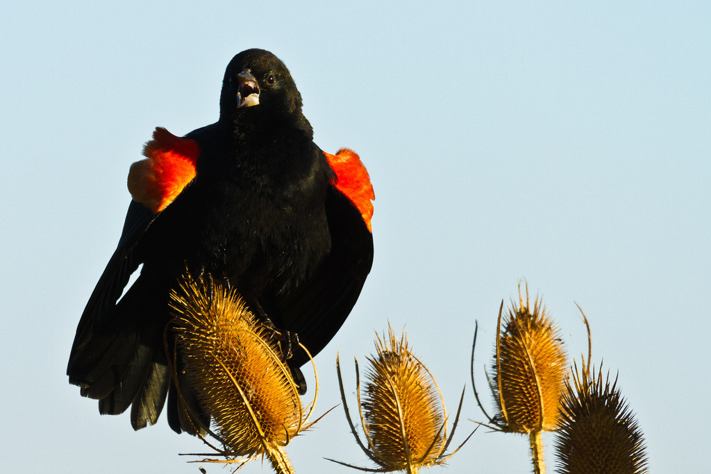 Red-winged Blackbird ( Agelaius phoeniceus ) Male-1163  (by emikek)