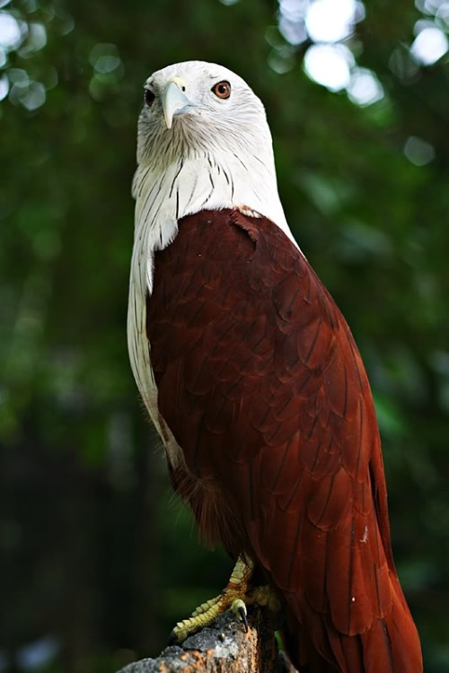 Brahminy Kite - India