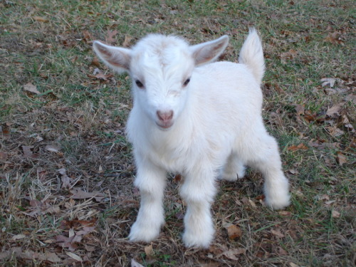 royaltie:  i have a baby goat that looks just like this but gray heheh