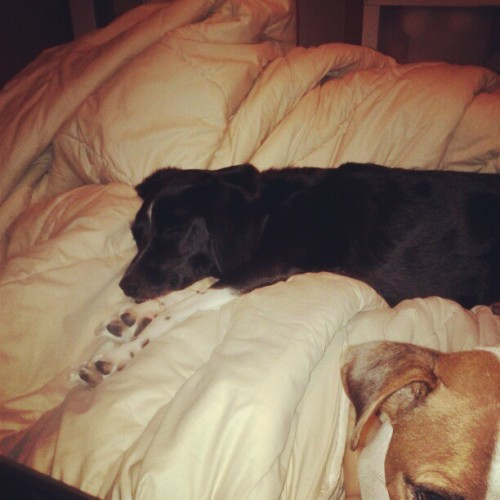 content to have all the blankets. #coho #muttlife  (Taken with Instagram at Coho & Leonard's Groovy Bachelor Pad)