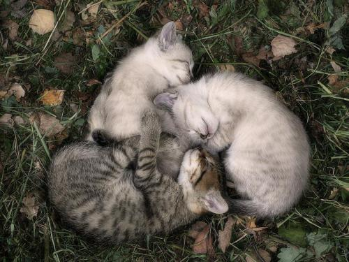 llbwwb:  Sweet Dreams and Cuddles Beautiful Friends:) (via Kitten Circle - photographer unknown - Pixdaus)
