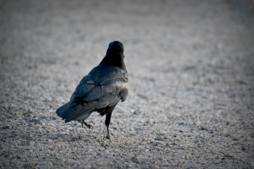 CROW.Photo taken by: insertshuttersoundhere