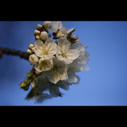 Beautiful #white #cherry #blossom #nature #photooftheday #macrochi #flower #tree #colour #floral #icatch #canon #60d  (Wurde mit Instagram aufgenommen)