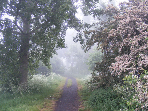 mykindafairytalee:  A MISTY MORNNING WITH HAWTHORN TREE IN FULL FLOWER DOWN THE TRACK ON ROCKFORD FIELDS IN HULL by zxbill55 on Flickr.