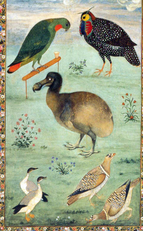 heaveninawildflower:   Painting by the Mughal artist Ustad Mansur from c 1625, which may be one of the most accurate depictions of a live dodo. Two live specimens were brought to India in the 1600s according to Peter Mundy, and the specimen depicted might have been one of these. Other birds depicted are Loriculus galgulus (upper left) Tragopan melanocephalus (upper right), Anser indicus (lower left) Pterocles indicus (lower right). Hermitage, St. Petersburg. http://julianhume.co.uk/wp-content/uploads/2010/07/History-of-the-dodo-Hume.pdf Text and image - Wikimedia.