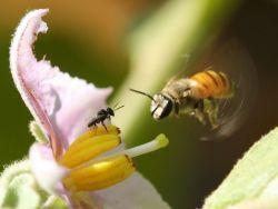 "rhamphotheca:  Bees That Cheat Their Flowers by National Geo staff It turns out that in nature there are lots of cheaters. Here a tiny stingless bee waits patiently on an eggplant flower as a Nomia bee approaches. The Nomia bee has the capability and strength to buzz pollinate this specialized flower. This involves the bee holding the flower in its ""teeth"" (mandibles) and vibrating it at a specific frequency using its wing muscles. Only then is pollen released. As the stingless bee is too puny to do this, it simply waits and then steals pollen that spills out after the Nomia bee has buzzed the flower. (via: National Geo)               (photos: Dino Martins)"