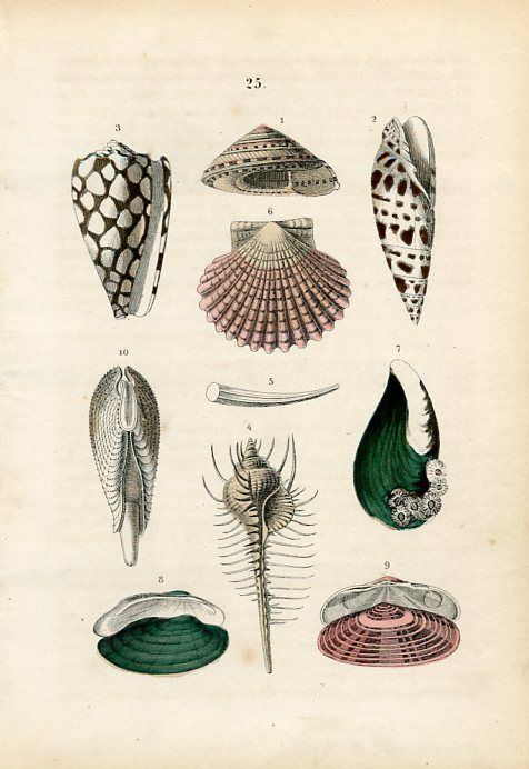 featherandmoss:  Old German hand colored lithograph print of marine molluscs by F. Martin.  Printed by Schmidt & Spring.  Stuttgart, Germany, 1876.