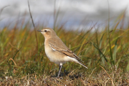 Northern Wheatear (by Jeffrey Offermann)