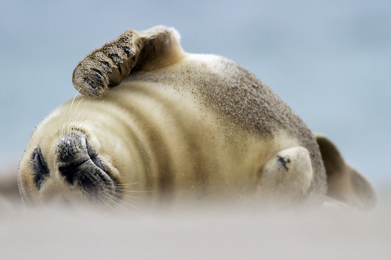 Grey seal (Halichoerus grypus) (by Michal Petro)