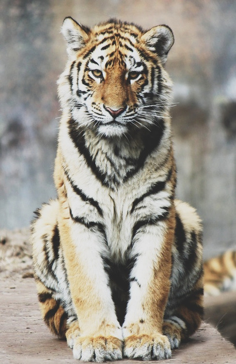 st0rmer:  i want a tiger as a pet omg