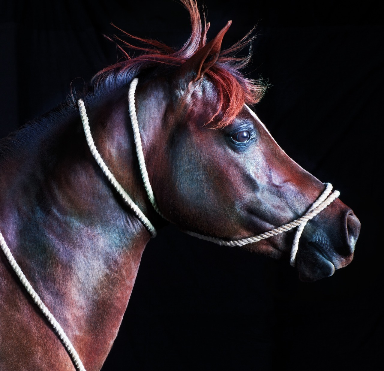 "Jill Greenberg on Capturing the Horse as Supermodel One might say there are two Jill Greenbergs. First, there is Jill Greenberg the commercial photographer: She's done work for corporations like Disney and Coke; her editorial photos have appeared on the covers of Time, Fortune, New York, and others. But it's Jill Greenberg the artist who gets people talking. From sinister shots of John McCain under the text ""WARMONGER"" to closeup portraits of children crying (after being offered candy and then having it snatched away), her images have been called ""repulsive,"" ""grotesque,"" and have elicited death threats. Her latest project, a book called Horse, is more, shall we say, tame.  You were harshly criticized for the McCain photos you took during the last election, under a strobe light, which made him look almost devil-like. It was an Atlantic assignment, but you doctored the outtakes as an art piece. Was it hard to find editorial work after that? That incident's backlash really surprised me, considering I delivered their cover image exactly to their specifications. I don't really know, but I think the Atlantic was afraid that McCain might be elected and needed to cover themselves. Photographers own all their images when shooting for magazines. The contract actually said you will use all means within your reach to publicize the images and shoot, including your own website, which is where I posted my agit-prop political cartoons. The incident got them an unbelievable amount of traffic, right before they relaunched the magazine with a redesign.  But could you understand the journalistic shock? What I did was an outside-the-box thing to do. But political cartoons are everywhere. It didn't occur to me that I was not allowed to have a voice … I thought of the McCain thing as the artist Jill Greenberg appropriating the photographer Jill Greenberg's work. Obviously some others did not agree. Your latest project focuses on glossy portraits of horses. Why? My obsession with horses began at the early age of six. I drew them, painted them, sculpted them, collected plastic models of them, read stories about them, and rode them. When I saw the same happening with my young daughter, I decided it was time to return to my primary muse. What is it that makes young girls project so much onto these gorgeous animals? You've said you tried to capture the horses like supermodels. What exactly does that mean? The horses were cast for their physiques, muscle tone, figures, and long flowing manes. The photographs focus on the animal's body; on cut, striated muscles under shiny, cropped hair; on crimped manes and windswept forelocks; on the strong shoulders and hindquarters. The images are incredibly detailed. How did the shooting process compare to other animals you've photographed? It was a nightmare. Horses are much more dangerous than trained bears and young apes. Most of the horses were not trained to be photographed at all, unlike almost every single animal I had photographed previously. We all got covered in dirt and dust … the cameras and computers got quite dirty. The lights had to be fenced off to protect them from horses if they decided to bolt. You've got another project at the moment — a gallery show called Legitimate Rape. That's quite a title.  My husband actually thought up the name. I am one of six artists who are showing at the Katherine Cone Gallery in LA. I'm exhibiting a video piece I shot in April with the phantom camera, so it records very slow motion. I hired seven older white men and dressed them in suits. I wanted them to look like rich assholes and directed them to laugh directly into the camera with contempt and mockery. The work was projected onto a steakhouse during the RNC. Does it ever bother you to be at the center of such controversy? It's quite stressful, yes, and it's unpleasant to receive death threats, comments about your children, comparisons to Hitler and Michael Jackson. — Jessica Bennett"
