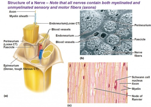 neuroanatomyblog:  Com­plete struc­ture of a nerve Endoneurium wraps a sin­gle axon includ­ing the myelin sheath. Fas­ci­cle is a small bun­dle of nerve fibers/axons. Per­ineurium wraps a fas­ci­cle. (peri means around) Epineurium wraps a bunch of fas­ci­cles. (epi = upon/top) Hint: This group­ing struc­ture is anal­o­gous to the mus­cu­lar orga­ni­za­tion sys­tem of epimy­sium, per­imy­sium and endomysium.