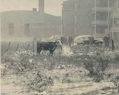 Another bull on the loose from the Stockyards, 38th and Michigan Ave, 1948, Chicago.