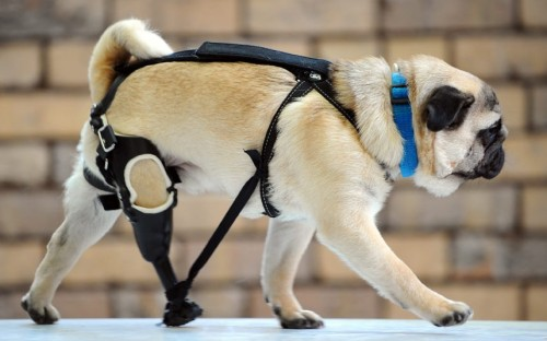 theanimalblog:  Edward the pug shows off his artificial leg while launching an Animal Welfare Fund campaign in Melbourne, Australia.  Picture: Rex