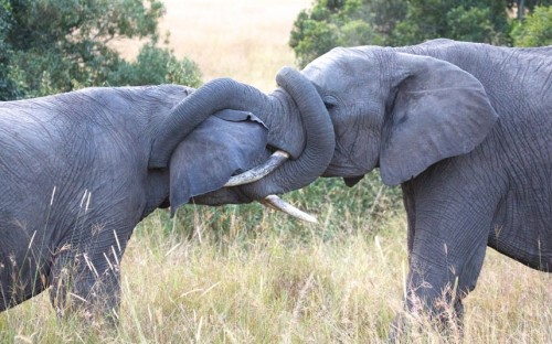 theanimalblog:  Two male elephants get their trunks in a tangle as they went tusk to tusk in a battle for mating rights.  Picture: Dmitry Stepanov/Solent News & Photo Agency