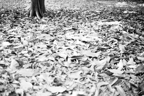 Park, Kelvin Grove - 2012 Pentax K1000 50mm f/1.4 Ilford XP2