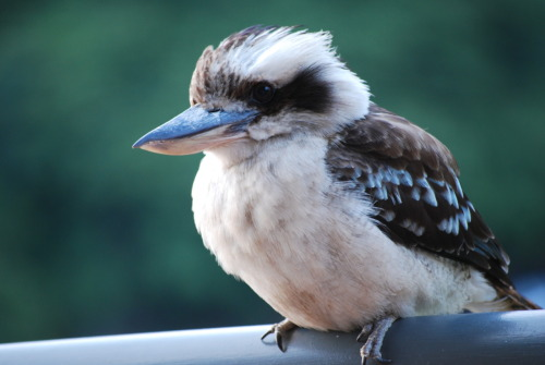 theanimalblog:  A friendly Kookaburra in Sydney, Australia  By Emily Albertson