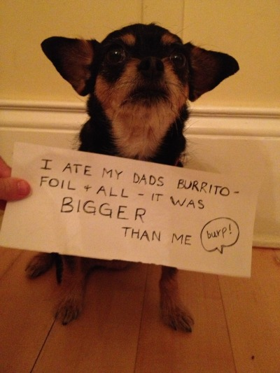 nottodaymegatron:  dogshaming:  8lb dog eats 10lb burrito  HOW CAN A BURRITO BE TEN POUNDS THAT'S AN INFANT. YOU ATE AN INFANT.
