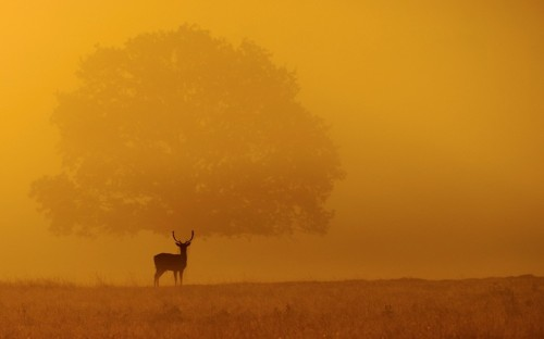Amateur photographer Ben Andrew took this photograph of a deer grazing at sunrise in Richmond Park, Surrey. Ben, 29, from Hitchin, Hertfordshire who arrived at the park in the early hours while it was still dark said 'I watched this Deer trot across my camera viewfinder hoping it would stop in front of the large tree, luckily it did and I got the shot! Picture: Ben Andrew/Solent News & Photo Agency